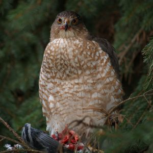 Brown Hawk Owl 006