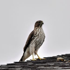 Coopers Hawk 1 send